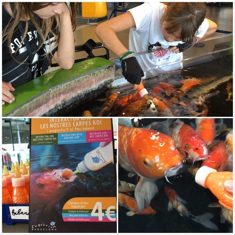 Nourrir les carpes Koi à l'aquarium de Barcelone