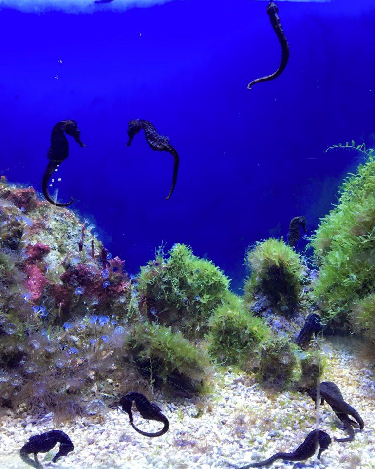 Hippocampes de l'aquarium de Barcelone